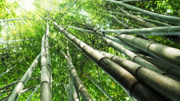 bamboo pic