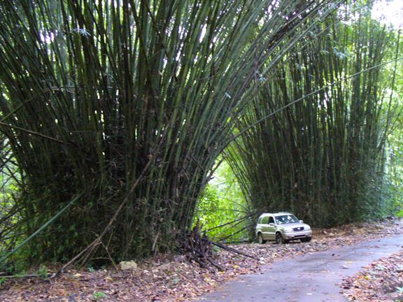 rio_abajo_bamboo